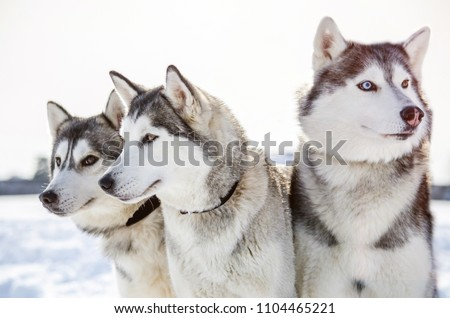 Three Siberian Husky dogs looks around.  Husky dogs has black and white coat color. Snowy white  background. #1104465221