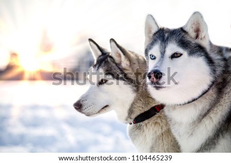 Two Siberian Husky dogs looks around. Husky dogs has black and white coat color. Snowy white background. Close up. Sunset. #1104465239