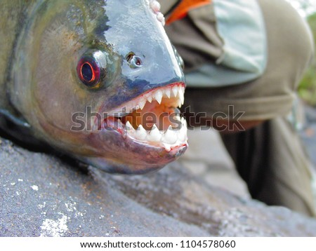 Amazon Black Piranha Teeth
