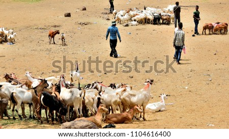 Akaki Market, selling goats and sheep, Addis Ababa, Ethiopia 03 June 2018  #1104616400