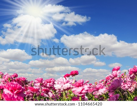Adorable pink garden buttercups - ranunculus bloom on a farm field. The sun shines through the flying clouds. Cloudy day in May. Concept of ecological and rural tourism