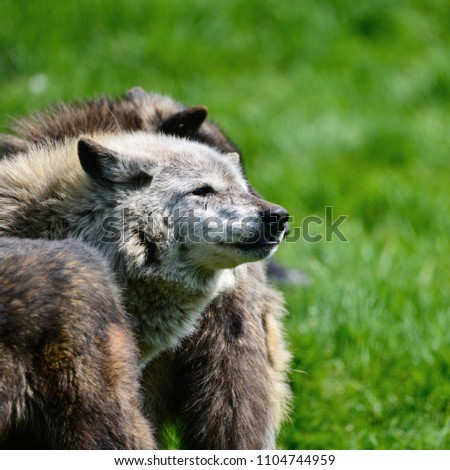 Beautiful grey Timber Wolf Cnis Lupus stalking and eating in forest clearing landscape setting #1104744959