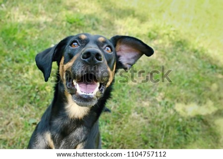 Close up picture of funny happy mixed breed black and brown dog with open mouth with wihte teeth, looking up, ear flying, blurry grass background, sunny summer day
