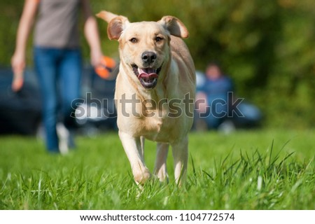 Labrador retriever in a meadow #1104772574