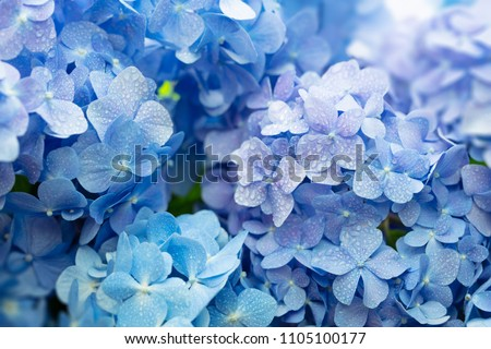 Blue Hydrangea (Hydrangea macrophylla) or Hortensia flower with dew in slight color variations ranging from blue to purple. Shallow depth of field for soft dreamy feel. #1105100177
