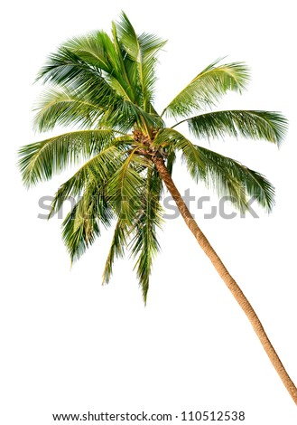 Crown of a palm tree of coconut isolated on white background #110512538