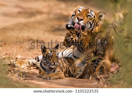 Royal Bengal Tiger with Cub  Royalty-Free Stock Photo #1105222535
