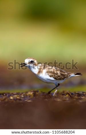 Cute bird. Kentish Plover. Nature background.  #1105688204