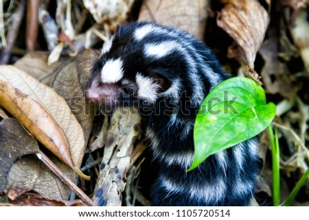 Little baby skunk on the ground in Nicaragua