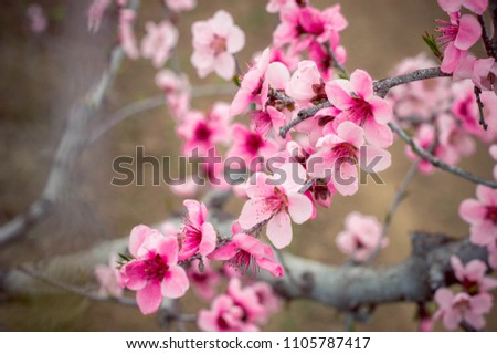 blossoming peach branches #1105787417