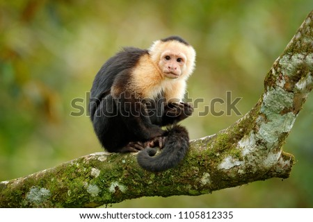 White-headed Capuchin, black monkey sitting on tree branch in the dark tropical forest. Wildlife of Costa Rica. Travel holiday in Central America.  #1105812335