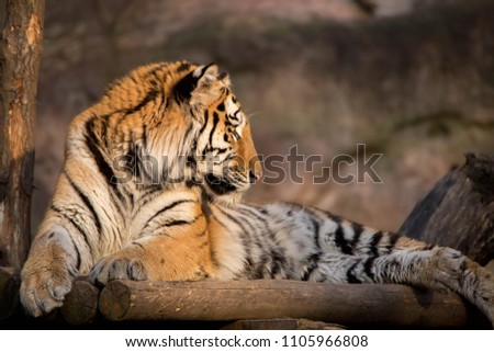 Tiger Portrait sunset #1105966808