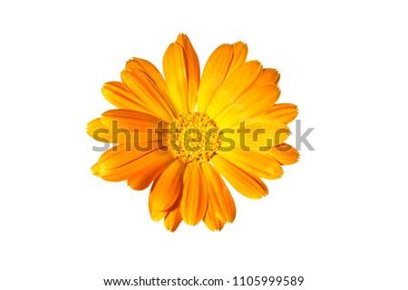Flower of calendula on a white background, marigold.