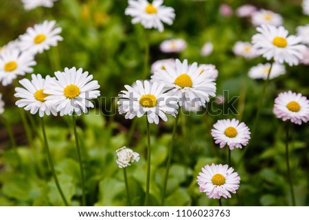 Flowering of daisies. Oxeye daisy, Leucanthemum vulgare, Daisies, Dox-eye, Common daisy, Dog daisy, Moon daisy. Gardening concept #1106023763
