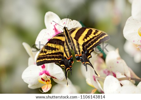 Butterfly sitting on the pink white orchid. In sect Papilio pilumnus, in the nature green forest habitat, south of USA, Arizona. #1106143814