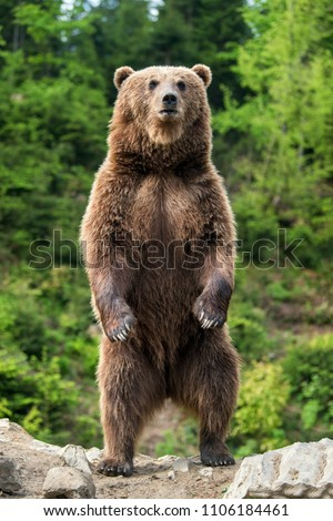 Brown bear (Ursus arctos) standing on his hind legs in the spring forest #1106184461