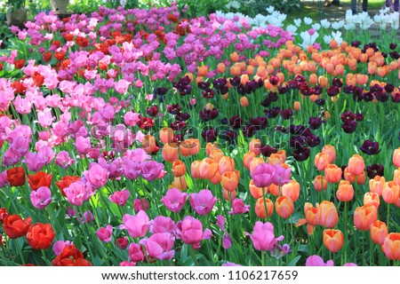 Tulip Flower Field at Garden Blossom Flower Bed. Various Colorful Dark Red, Pink and Orange Tulips on Flower Bed Field. Nature Floral Background of Spring Seasonal Natural Fresh Tulip Flower Bulbs. #1106217659