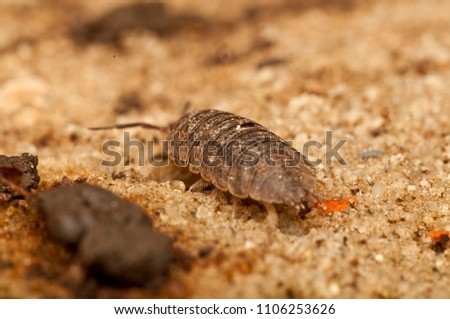 Onissidea crawls along the sandy ground close up #1106253626