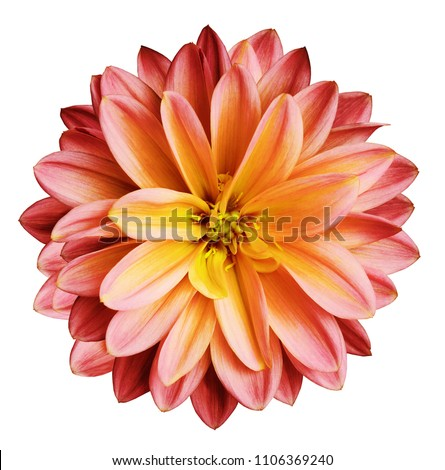 Chrysanthemum flower red-yellow   on a white isolated background with clipping path  no shadows.  Closeup.   For design.   Nature. #1106369240