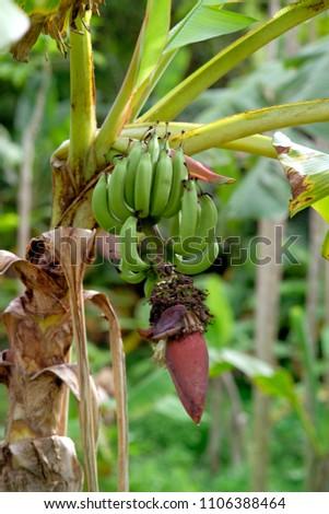 Unripe bananas on the tree #1106388464