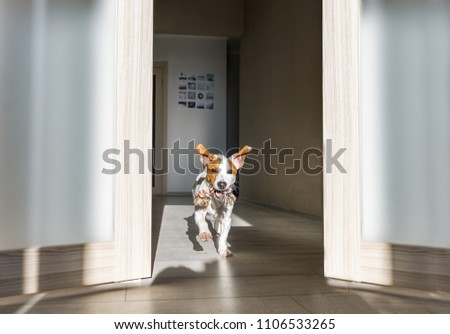 Dog with toy running at home. Puppy jack russell terrier. #1106533265