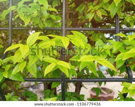 Close up of leaves  Wrightia religiosa as a background, Natural green wallpaper, Ecological Concept. ( Echites religiosus Teijsm, APOCYNACEAE, Moke ) #1106779436