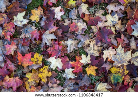 Maple colorful leaves fallen on park in Autumm on  background. Top view.  #1106846417