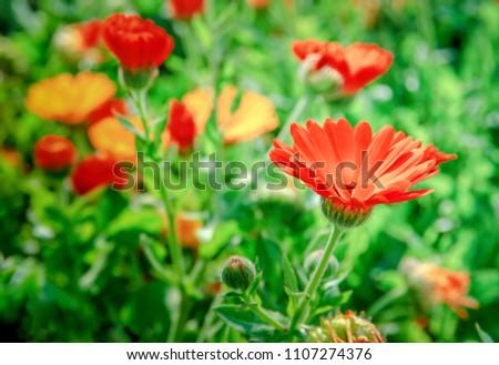 Red Chrysanthemum or daisies flowers in the garden #1107274376