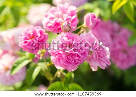 pink rose bush closeup on field background #1107459569