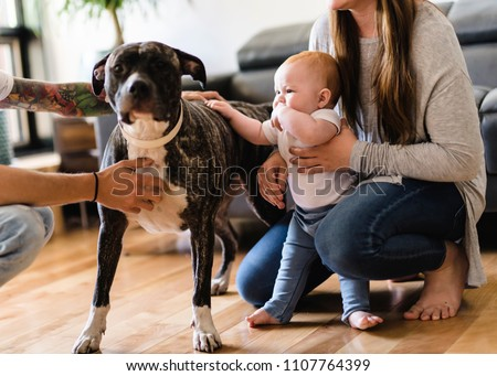 Baby girl touch pitbull at home, parent holding baby