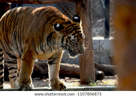 when i found a Laughing tiger at zoo #1107806873