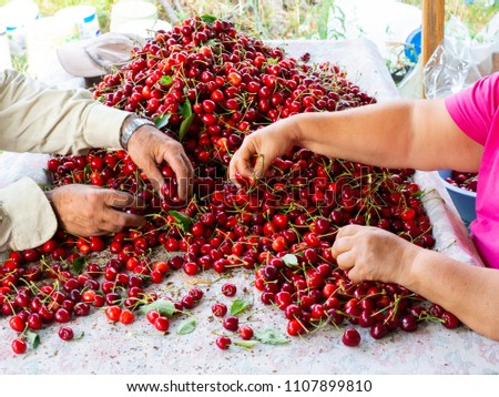 the workers are choosing cherry. fresh organic cherries background. Red fresh bunch of cherries on the table. fresh red cherry heap. cherry selective workers #1107899810