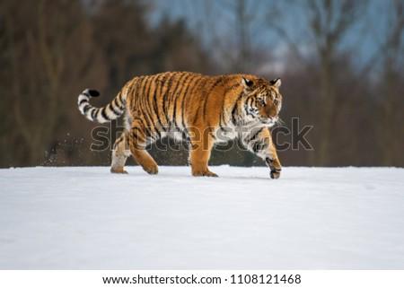 Siberian Tiger in the snow (Panthera tigris) #1108121468