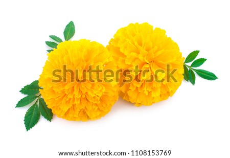 yellow Marigold flower, Tagetes erecta, Mexican marigold, Aztec marigold, African marigold isolated on white background #1108153769
