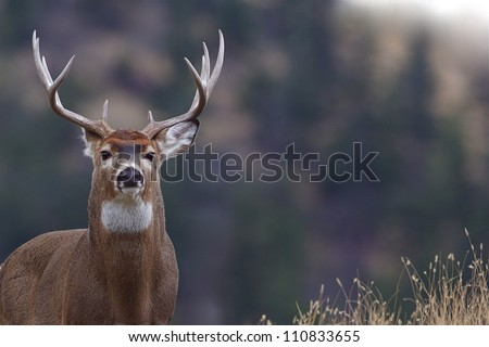 Trophy Whitetail Buck Deer Stag, portrait, palouse prairie grassland with evergreen forest in background, Montana deer hunting season; white-tailed, white-tail, white tailed, whitetailed,  white tail