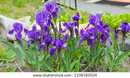 Purple irises (Iridaceae) #1108585034