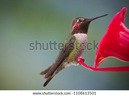 Anna's hummingbird feeding #1108613501