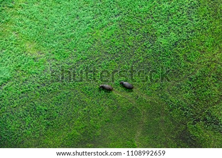 Two hippo and aerial landscape in Okavango delta, Botswana. Lakes and rivers, view from airplane. Green vegetation in South Africa. Trees with water in rainy season.