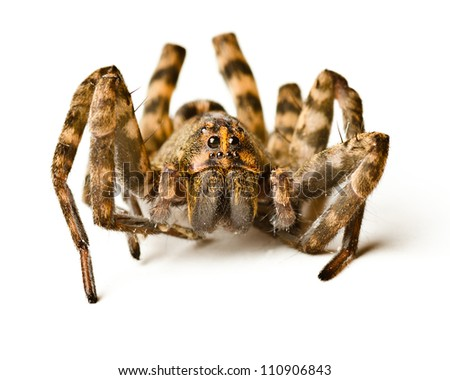 Close up of wolf spider on white background #110906843
