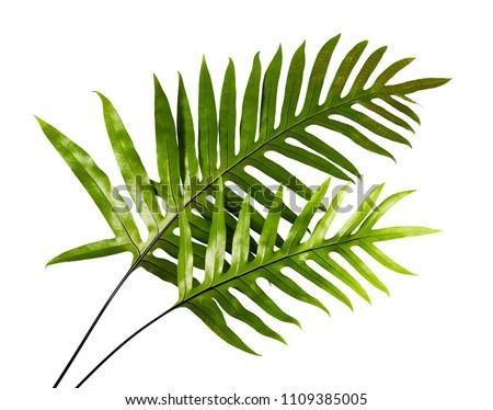 Wart fern leaf, Ornamental foliage, Fern isolated on white background, with clipping path #1109385005