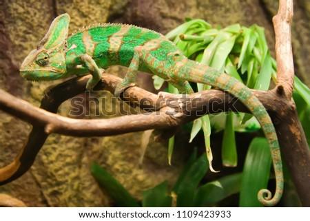 Chameleon in the terrarium of the botanical garden #1109423933