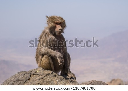 Baboons in the wild #1109481980