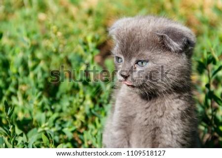 Gray Scottish Fold kitten on green grass #1109518127