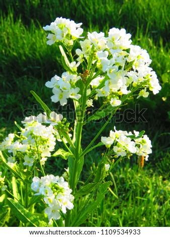 flowers of Horseradish, Armoracia rusticana, #1109534933