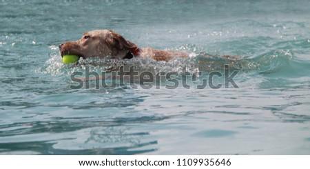A Labrador Dog Retrieving a Tennis Ball in the Water. #1109935646