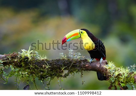 Famous tropical bird with enormous beak,Keel-billed toucan, Ramphastos sulfuratus, perched on a mossy branch in rain against rainforest background.Costa Rican black-yellow toucan,wildlife photography. #1109998412