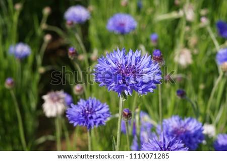 Blue Cornflowers in the garden at japan #1110071285