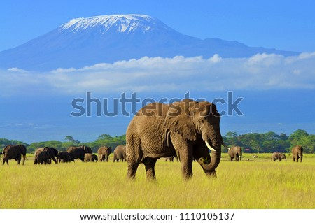 Male elephant in amboseli national park,  Mt. kilimanjaro in background