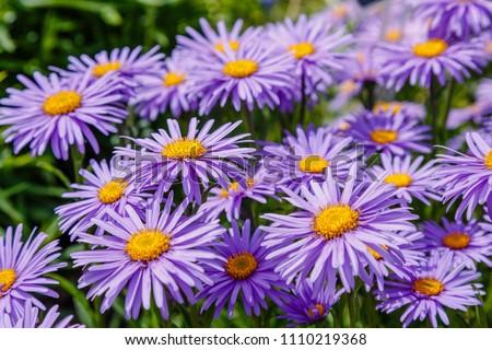 Alpine Aster (Aster alpinus) . Decorative garden plant with purple flowers. Beautiful perennial plant for rock garden. #1110219368