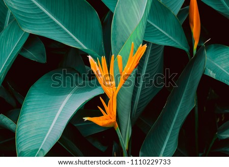 Flower with dark green leaf in tropical jungle nature background #1110229733